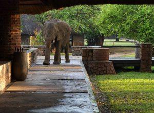 Afican elephant