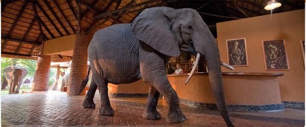 mfuwe_lodge_elephant