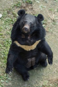 Moon bear Peter