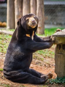 Moon Bear Asiatic