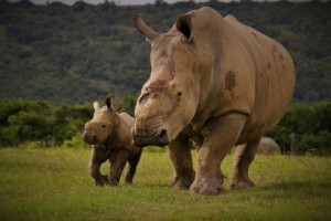 thandi and thembi rhinos