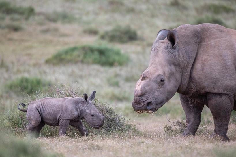 Thandi Rhino Calf