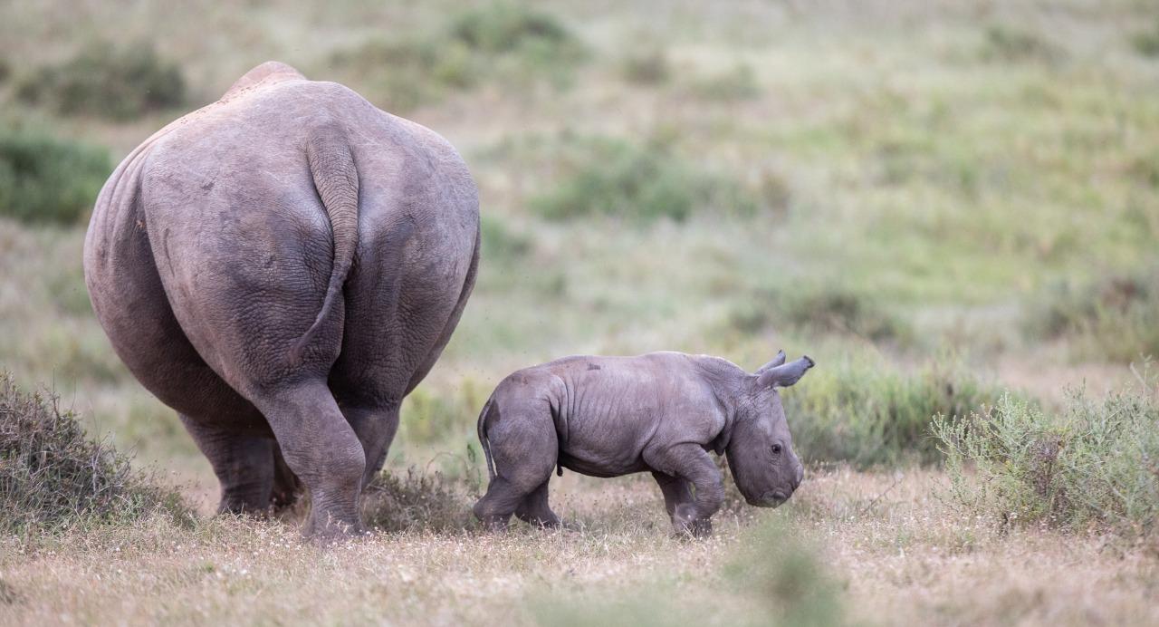 White Rhino Wild