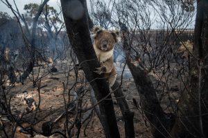 Koala Bush Fire