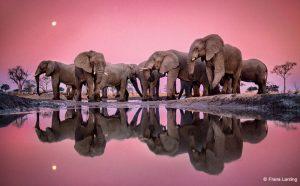 Frans Lanting Elephants