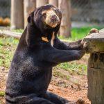 Moon Bear Asiatic